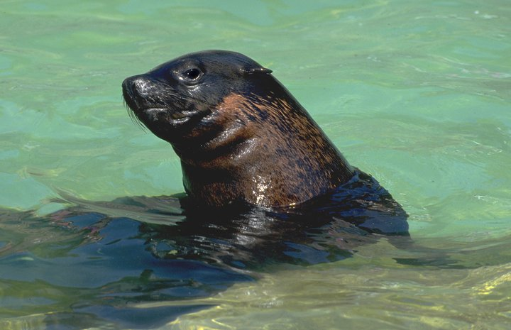 Africa Brown fur seal