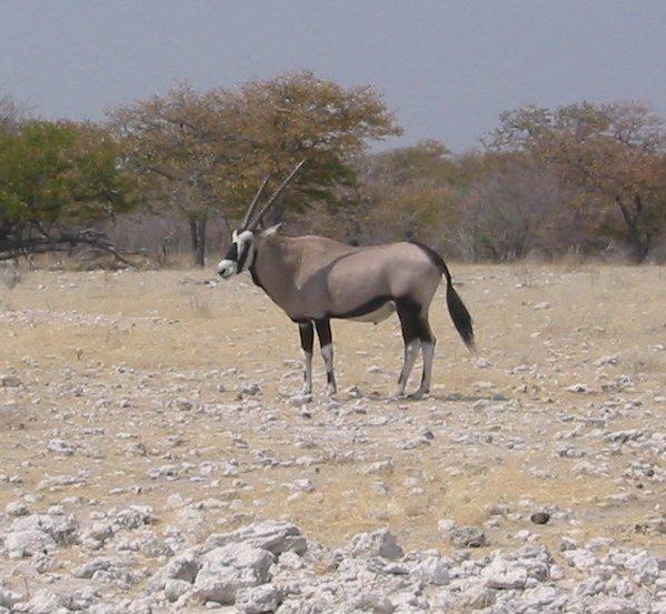Africa Gemsbok