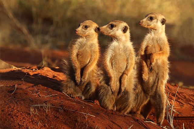 Africa meerkat