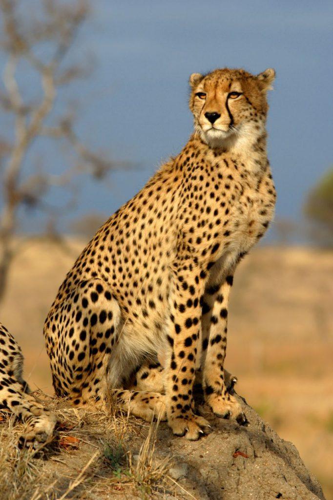 Africa Namibian Cheetah