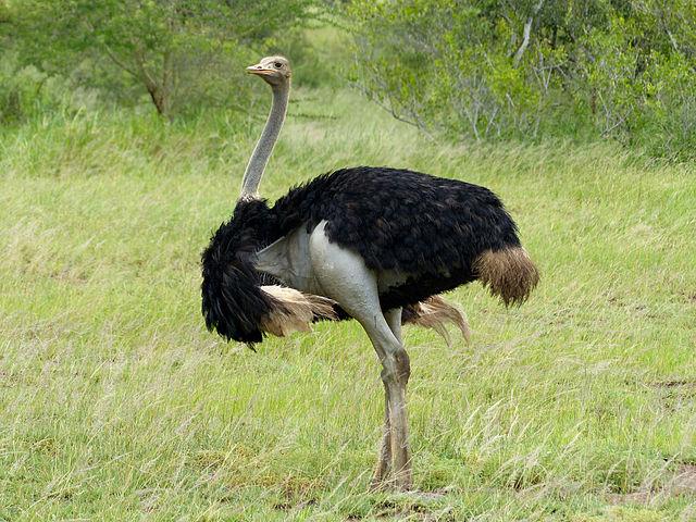 Africa Ostrich