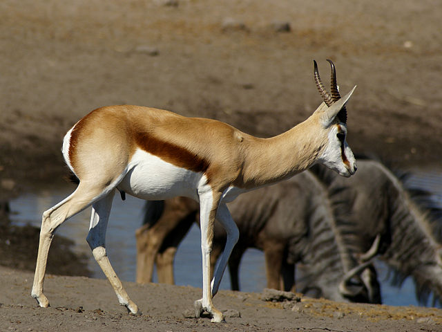 Africa Springbok