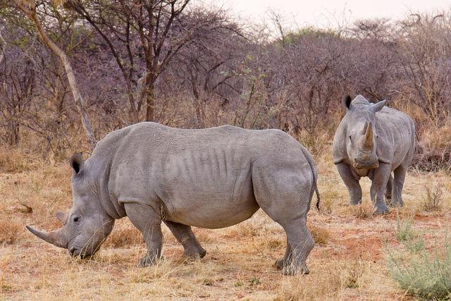 Africa white rhinoceros