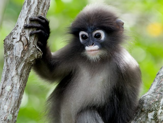 Dusky leaf monkey Rare wildlife of Thailand