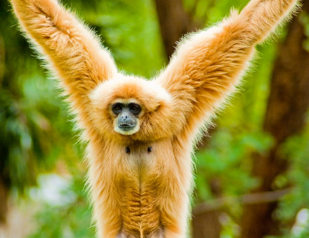 Lar Gibbon of Thailand