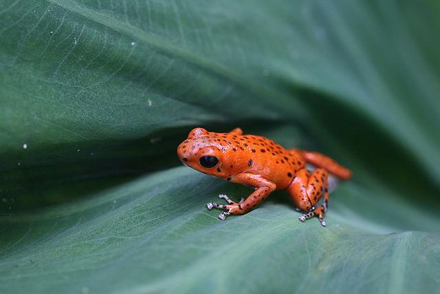 Bocas del Toro, red frog