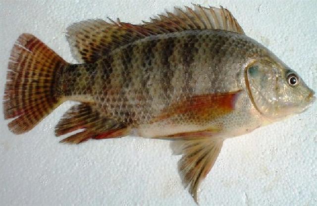 Fish Egypt