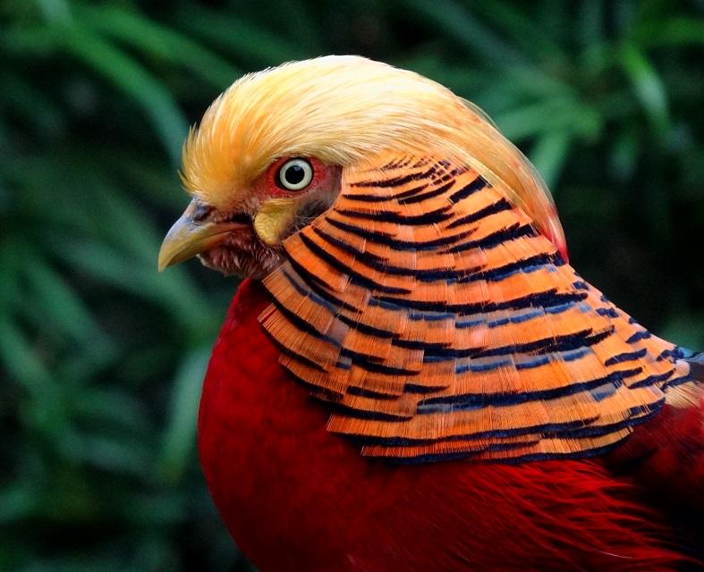 Most Beautiful Bird Golden pheasant