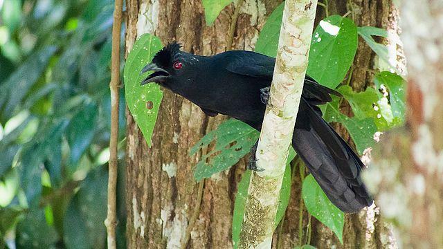 Bornean black magpie Malaysia