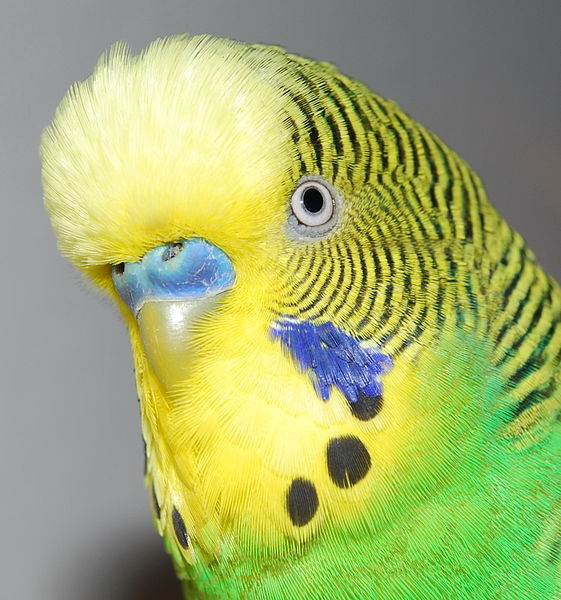 Amazon Budgies
