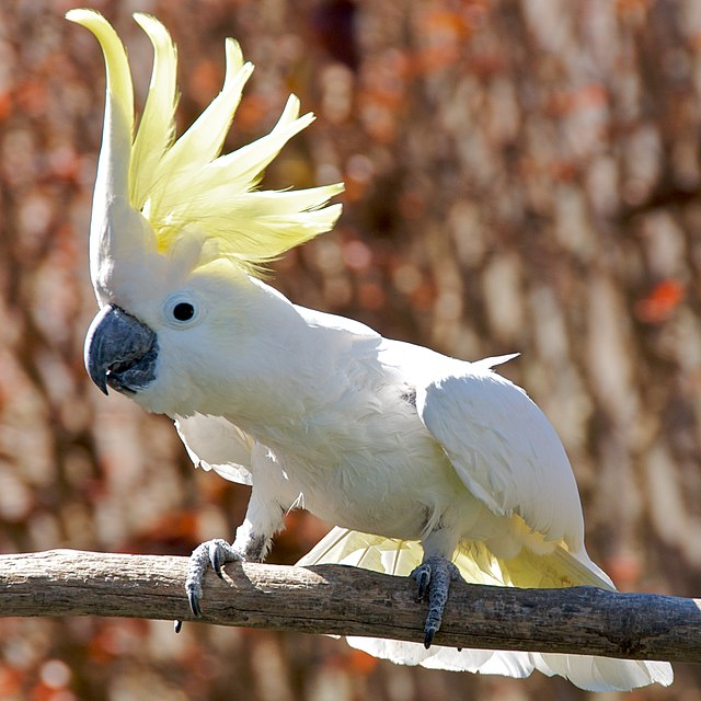 Amazon Birds Cockatoo