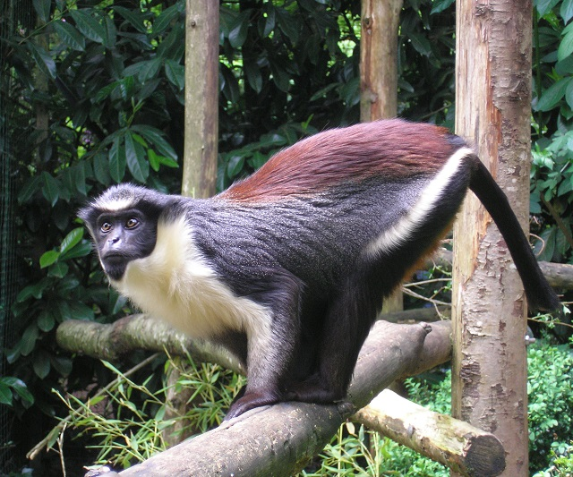 African Diana Monkey