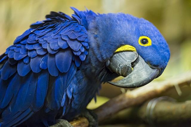Amazon bird Giant Macaw