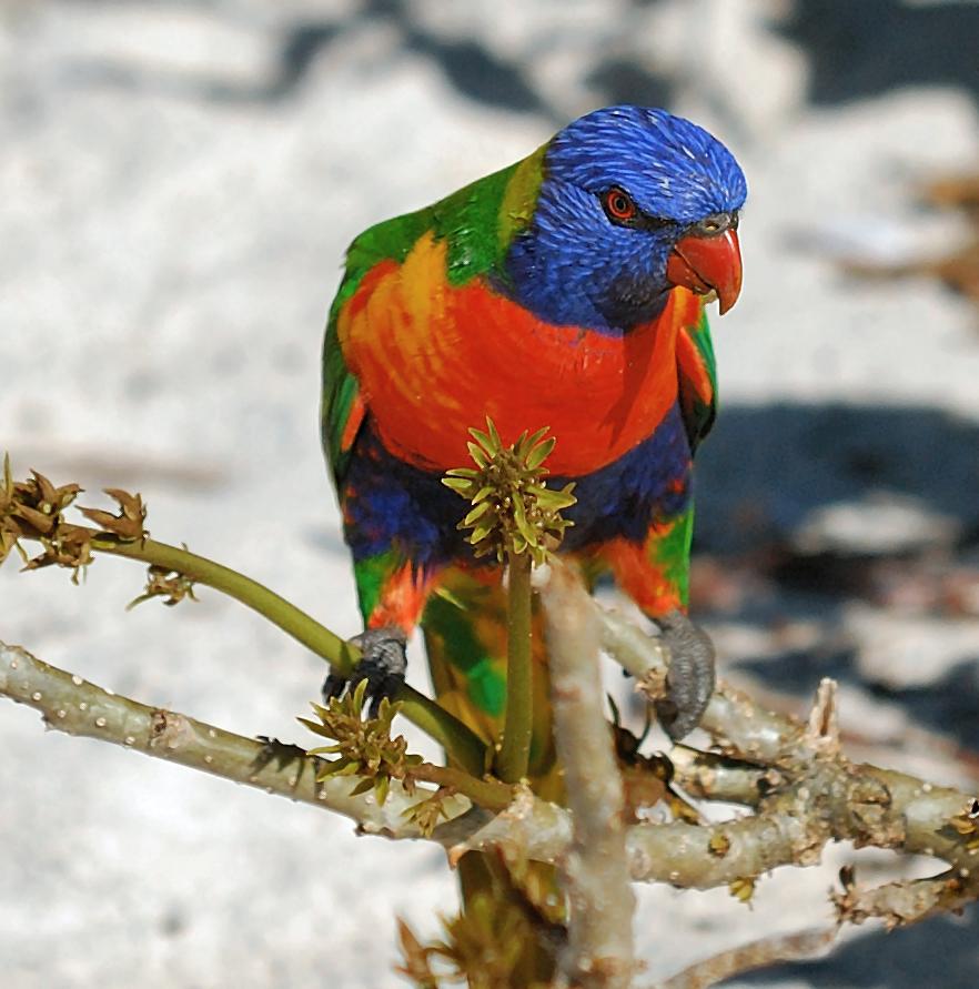 amazon birds Lorikeets