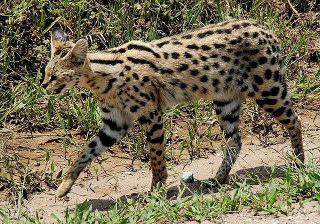 Ngorongoro Crater Serval