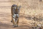 Tadoba Andhari Tiger Reserves