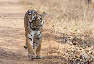 Tadoba Andhari Tiger Reserves