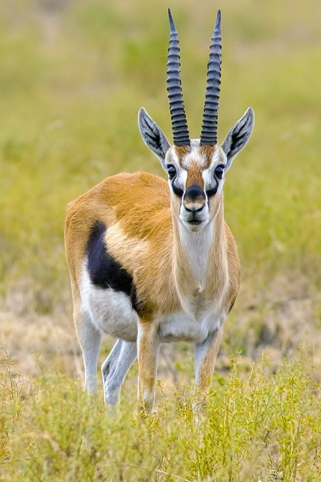 Gazelle Migration