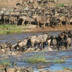Spectacular Great Zebra and Wildebeest Migration
