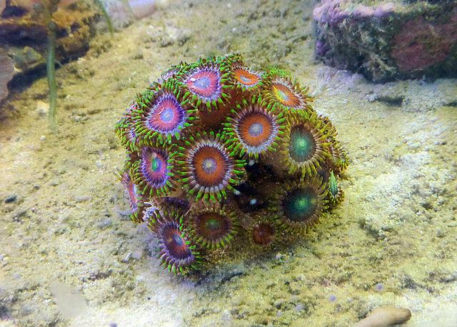 Snorkeling Zoanthus