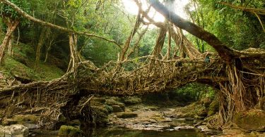 Living root bridge India