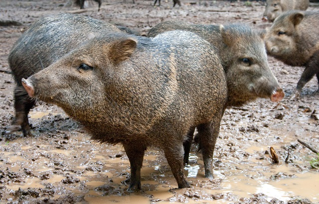 Peccaries in Ecuador