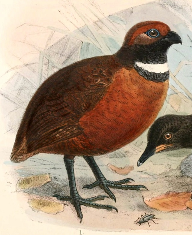 Rufous-fronted wood quail