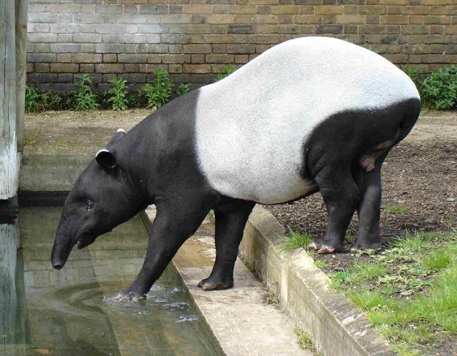 Ecuador -Tapirs