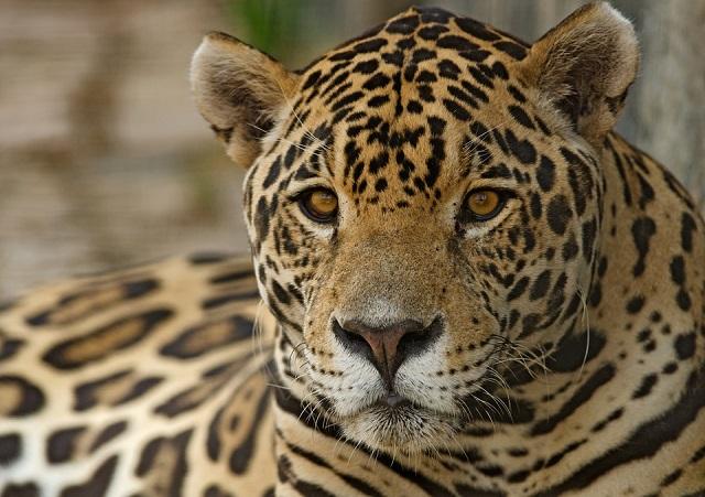 Jaguar in Ecuador