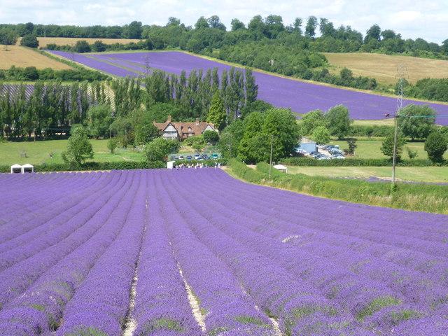 Lavender Fields 3