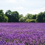 Breathtaking Lavender Farms in the United States