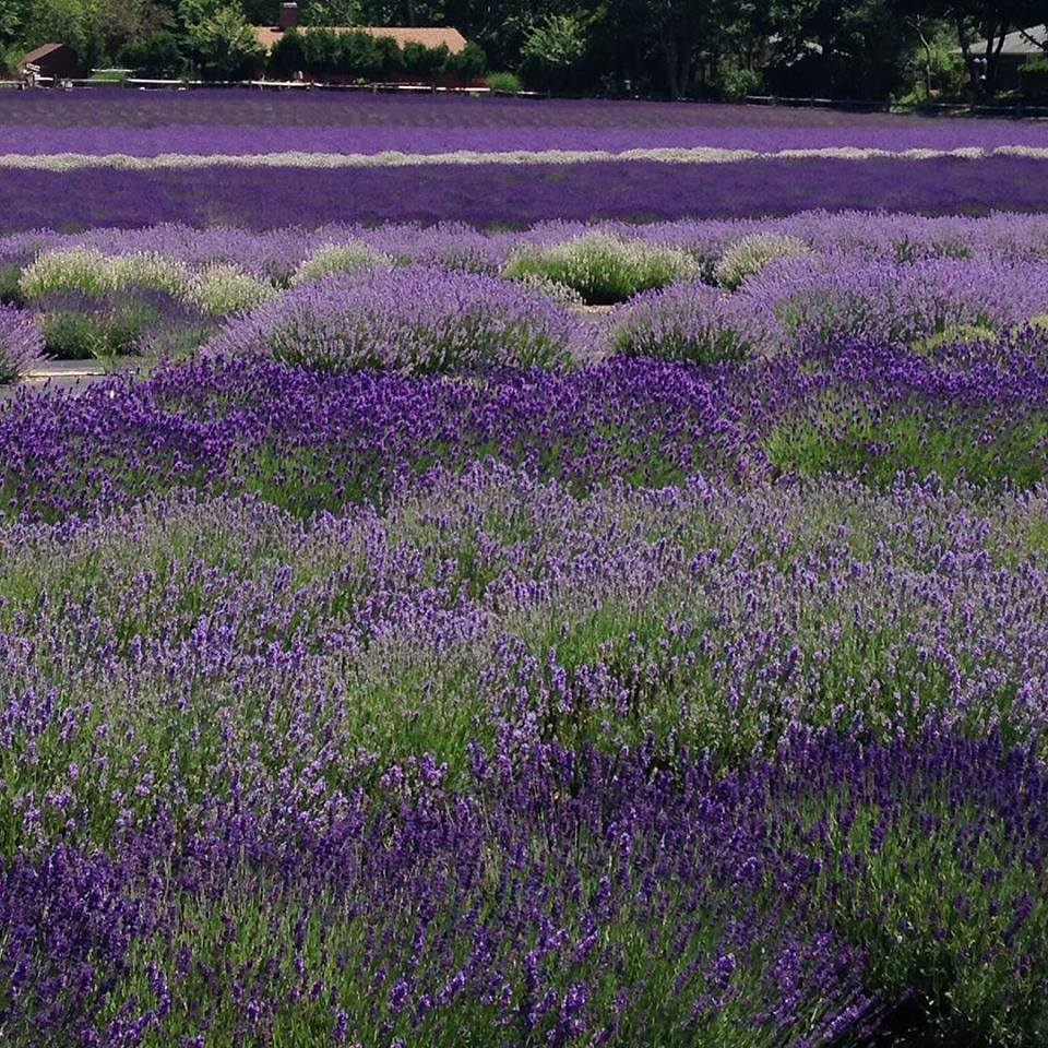 Lavender by the bay, Lavender Farms