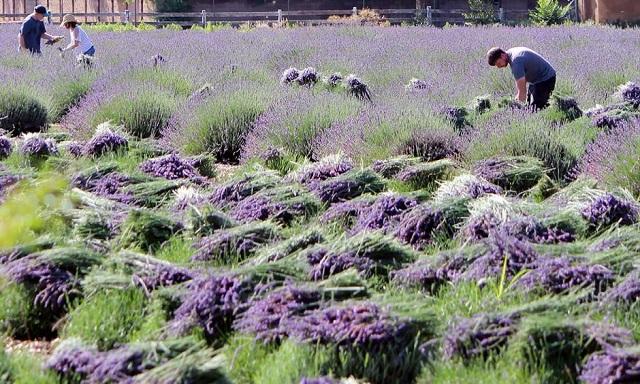 Los Poblanos Lavender Farms