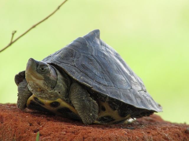Roofed_turtle