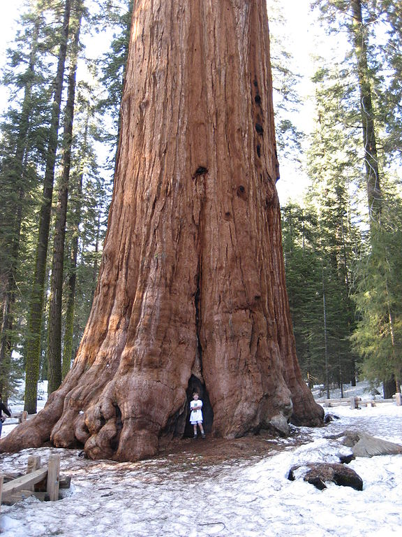 Sherman Tree at Sequoia National Park