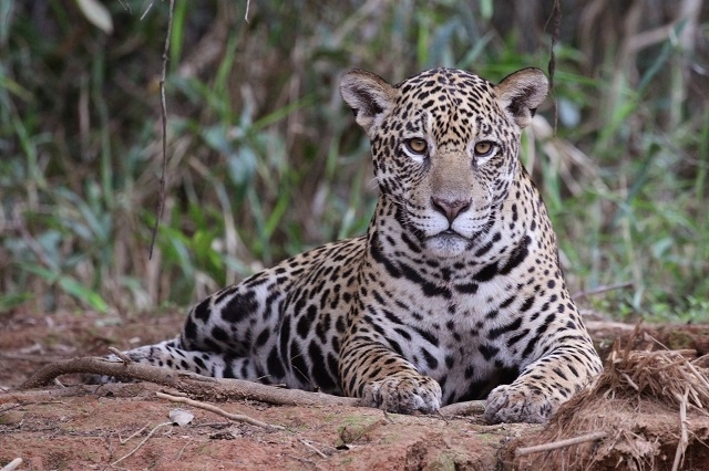 African Safari Destinations jaguar