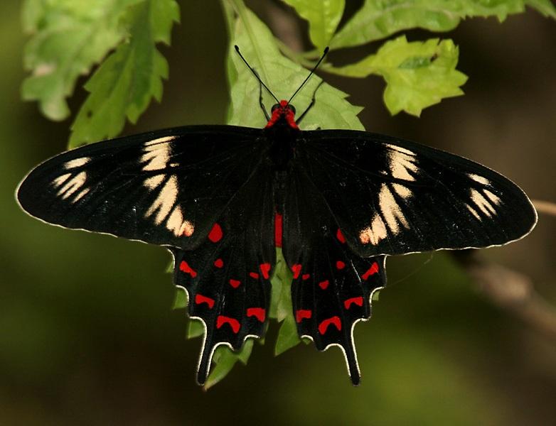 Crimson rose butterfly