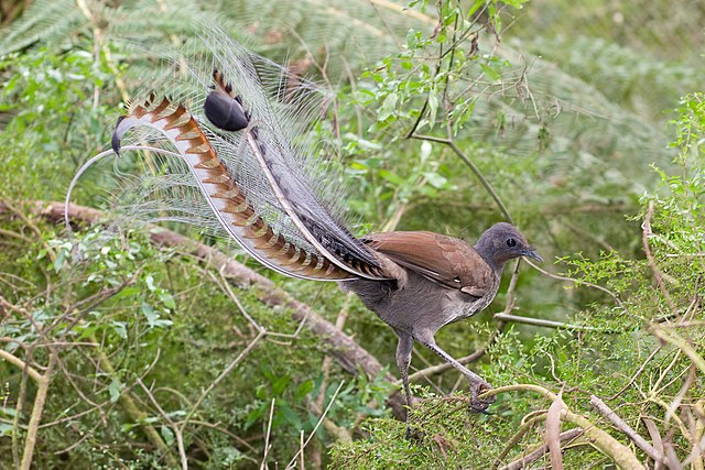 Lyrebirds 1