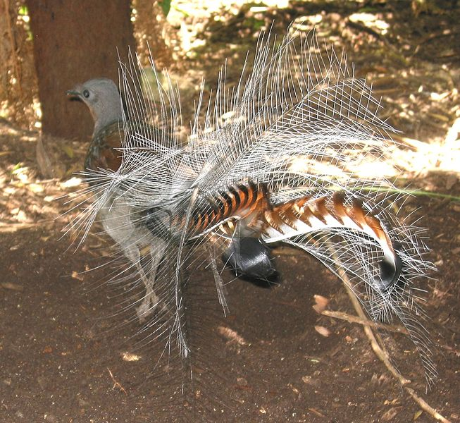 Lyrebirds 2