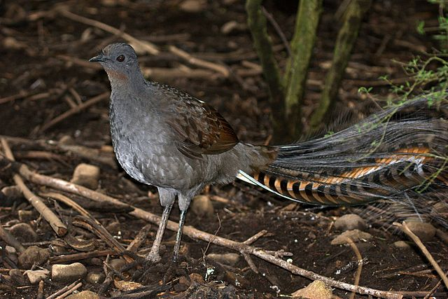 Lyrebirds