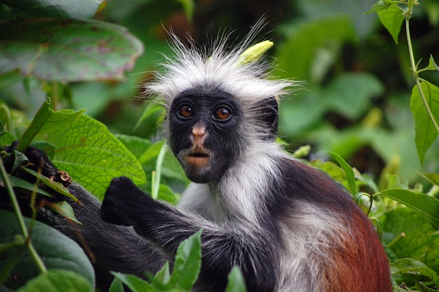 Zanzibar Safari Destinations Red Colobus