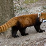Can You Name A Few Spots to See Red Panda in India?