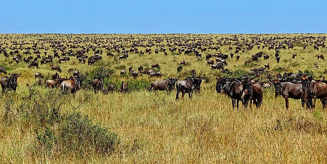 Safari Destinations wildebeest migration
