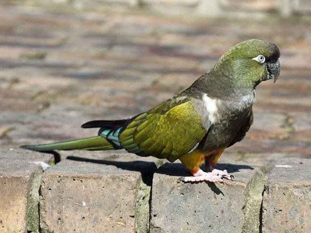 Cape Parrots
