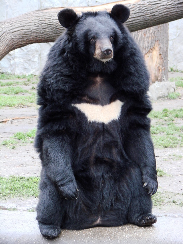 Moon Bear South Korea