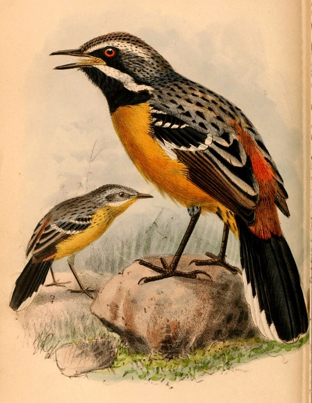 Orange-breasted Rockjumper