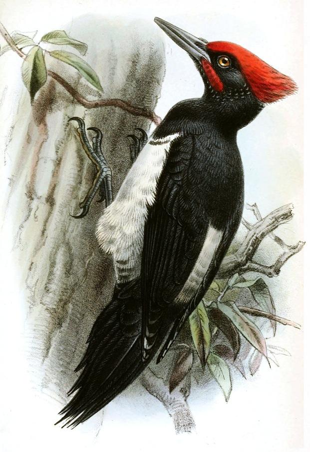 Tristram's woodpecker