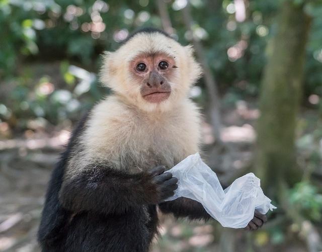 Capuchin monkey Ecuador