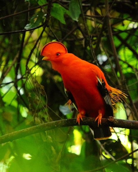 Cotinga Ecuador