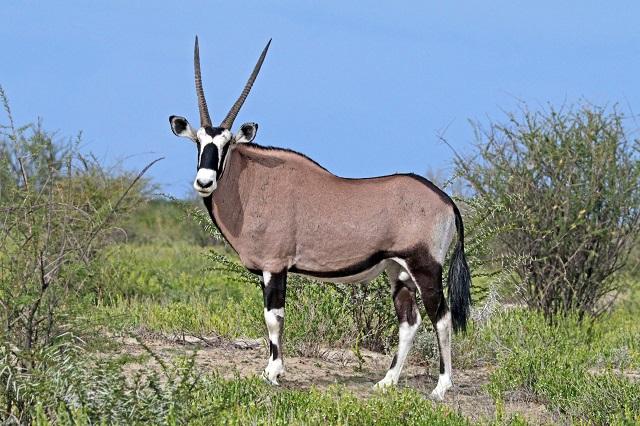 Gemsbok,Botswana
